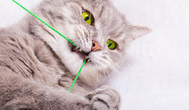 Le chat gris joue des dents avec un fil Image stock