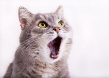 Le chat gris recherche, miaulant et après avoir ouvert largement une bouche photos stock
