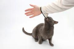 Le chat gris a saisi les dents de la main humaine photographie stock