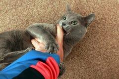 Le chat gris a saisi les griffes et les morsures de main images stock