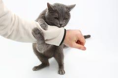 Le chat gris a saisi ses pattes de main sur le fond blanc photographie stock libre de droits