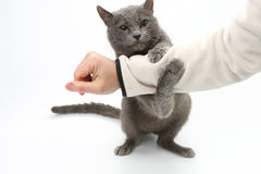 Le chat gris a saisi ses pattes de main sur le fond blanc photos libres de droits