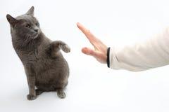 Le chat gris a saisi ses pattes de main sur le fond blanc photo stock