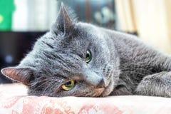 Le chat gris se situe dans la pensée images stock