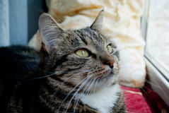 Le chat gris se trouve sur un filon-couche de fenêtre sur un fond brouillé dans les rayons du soleil Image libre de droits