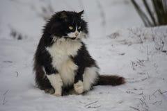 Le chat hirsute drôle de couleur noire et blanche se repose sur la neige et examine la distance Photos libres de droits