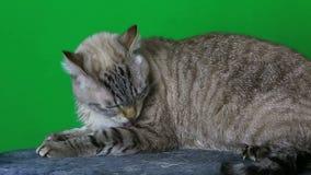 Le chat humide se lèche clips vidéos