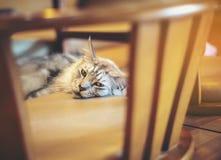 Le chat jaune-orange mignon est jouer vilain sur un plancher en bois photos stock