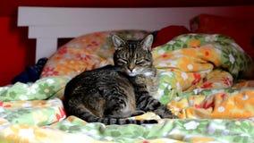 Le chat lèche à la maison dans le lit banque de vidéos