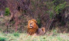 Le chat le plus grand en Afrique Le Kenya, masai Mara Image libre de droits