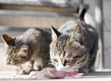 Le chat mange de la viande sur la nature Images stock