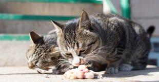 Le chat mange de la viande sur la nature Photos libres de droits