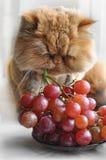 Le chat mange des raisins Photographie stock libre de droits