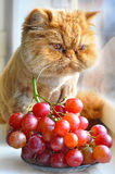 Le chat mange des raisins Photo libre de droits