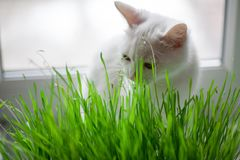 Le chat mange l'herbe Images stock