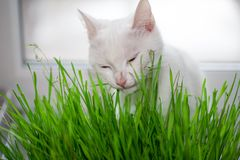 Le chat mange l'herbe Photo libre de droits