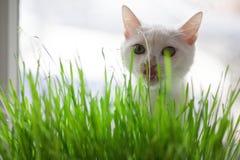Le chat mange l'herbe Image libre de droits