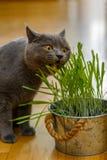 Le chat mange l'herbe Photos stock