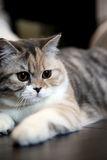 Chat britannique de Shorthair Photo stock