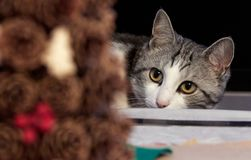 Le chat mignon de couleur noire et blanche avec les yeux jaunes est étroitement wa photographie stock