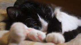 Le chat mignon prolifère dans une chaise dans la chambre, le plan rapproché des yeux et des pattes clips vidéos