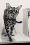 Le chat mince rayé se tient sur la table Photo stock