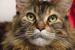 Le chat multicolore regarde soigneusement la caméra grand ragondin de chat-Maine photos stock