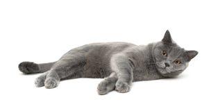 Le chat multiplie des mensonges droits écossais sur un fond blanc Photos stock