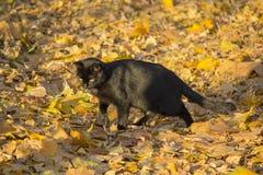 Le chat noir chasse dans des feuilles du parc d'automne photo stock