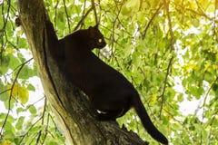 Le chat noir de bombey affile des griffes sur une branche d'arbre au soleil photographie stock
