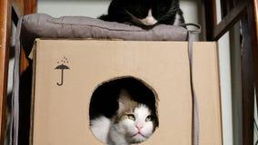 Le chat noir effraye la boîte en carton reniflante de chat blanc photo libre de droits