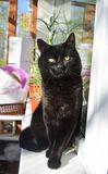 Le chat noir hautain avec les yeux verts se repose fièrement sur une fenêtre un jour ensoleillé d'été image stock