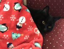 Le chat noir se trouve sous une couverture rouge Repos de chat images stock