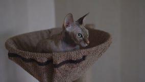 Le chat nu de pur sang un sphinx se trouve sur l'endroit banque de vidéos