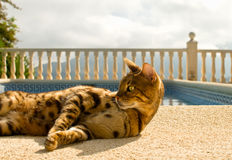 Le chat paresseux du Bengale se trouve confortablement près de la piscine Image stock