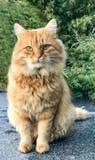Le chat pelucheux rouge se repose sur la terre photos libres de droits