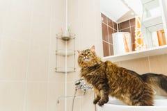 Le chat pelucheux se tient sur un lavabo blanc dans la salle de bains et recherche photos libres de droits