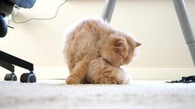 Le chat persan lave et lèche la patte sous la table banque de vidéos