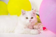 Le chat persan pelucheux blanc se trouve sur le fond blanc Photographie stock