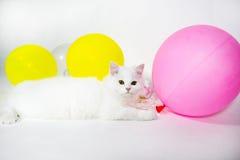 Le chat persan pelucheux blanc se trouve sur le fond blanc Image stock