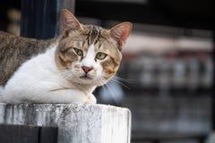 Le chat plus âgé reposant et regardant la caméra photo stock