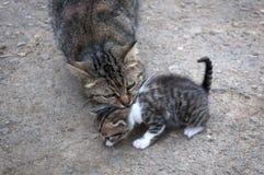 Le chat porte un chaton, soin dans le monde animal Image stock