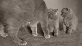 Le chat prend soin des chatons clips vidéos