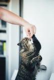 Le chat prend une pilule Image libre de droits
