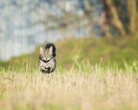 Le chat rayé drôle et intelligent fonctionne rapidement par le pré, Ra images libres de droits