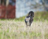 Le chat rayé drôle et intelligent fonctionne rapidement par le pré, Ra photographie stock libre de droits