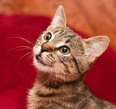 Le chat rayé est intéressé quelque chose Photo stock