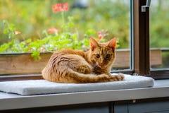 Le chat rayé très assez orange et rouge regarde l'appareil-photo Images libres de droits