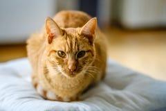 Le chat rayé très assez orange et rouge regarde l'appareil-photo Image stock