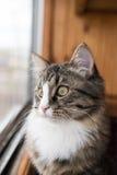 Le chat regarde la fenêtre Beau chat se reposant sur un rebord de fenêtre et regardant à la fenêtre Photos libres de droits
